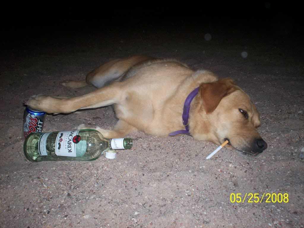 perro borracho