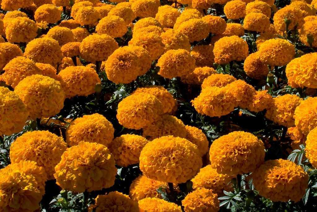 dia de muertos flor-de-cempasuchil